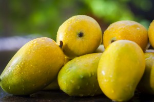 Kesar Mangoes of Gujarat