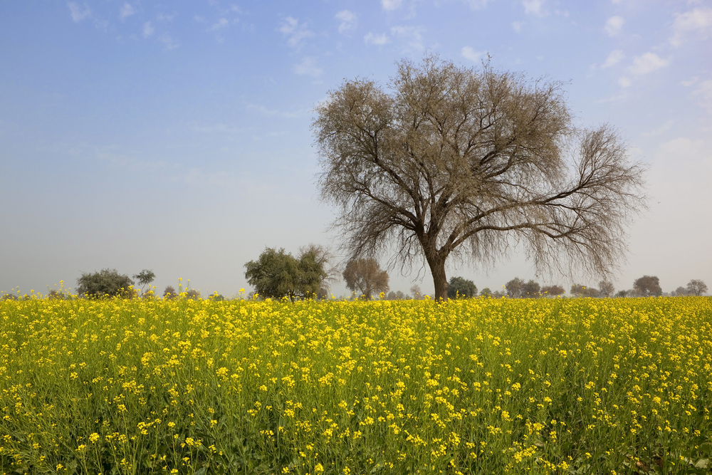 Mustard fields of Punjab
